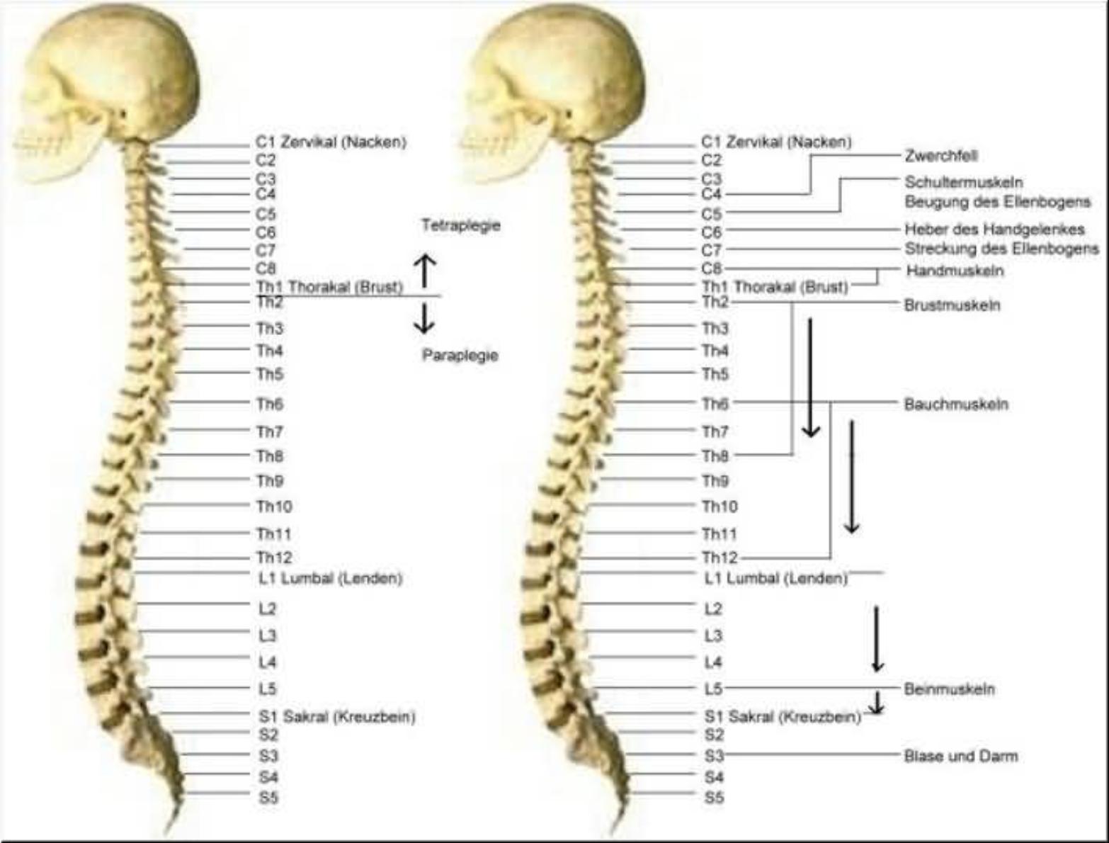 Ungewöhnlich C1 Wirbel Anatomie Galerie - Menschliche Anatomie ...